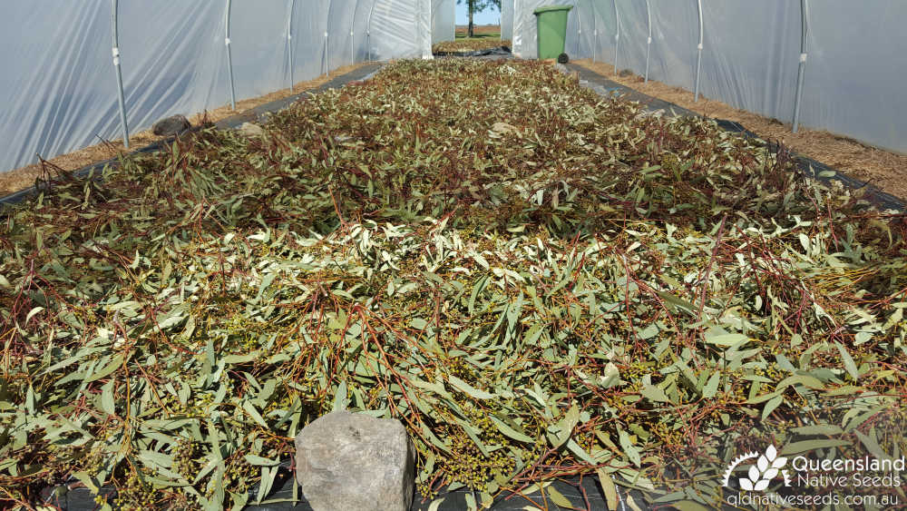 Eucalyptus fibrosa subsp. fibrosa | drying in tunnelhouse | Queensland Native Seeds