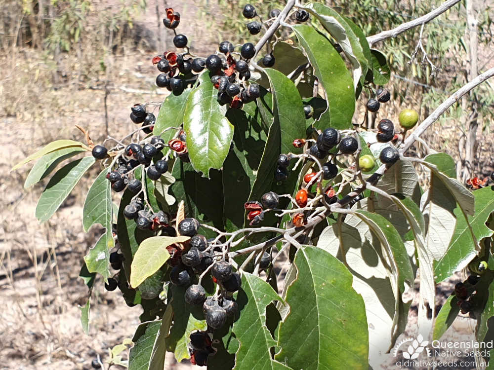 Alphitonia excelsa | fruit dehiscing | Queensland Native Seeds