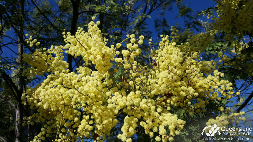 Acacia glaucocarpa | inflorescence | Queensland Native Seeds