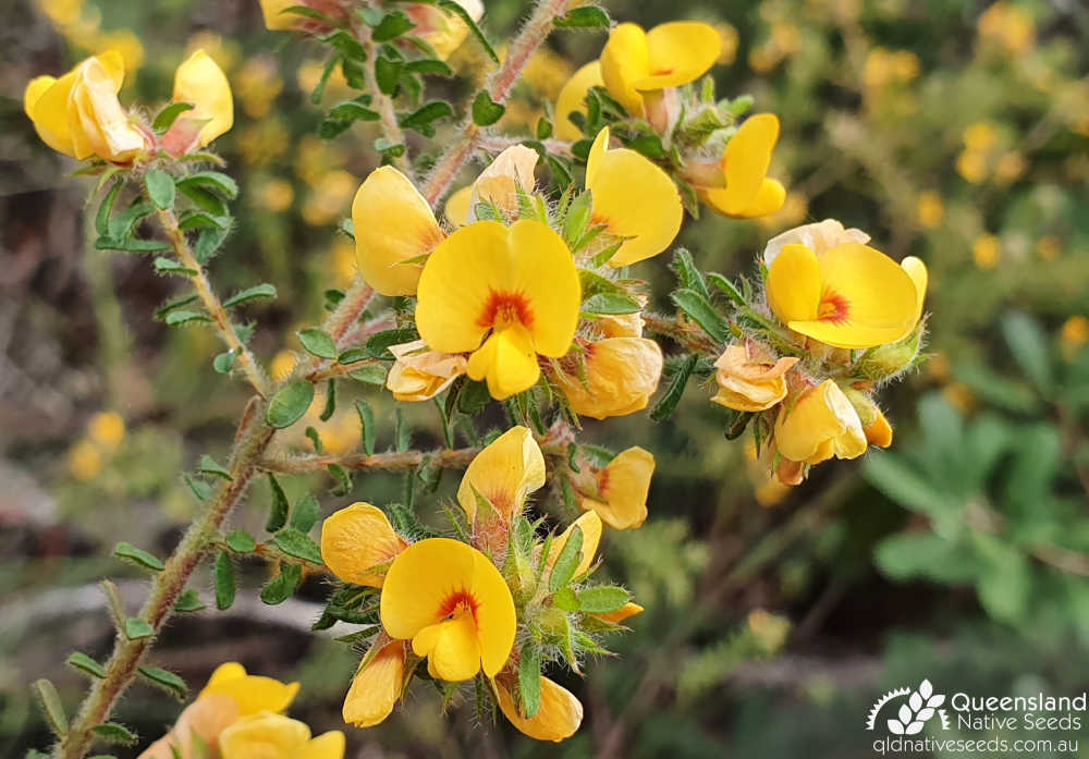 Pultenaea villosa | inflorescence | Queensland Native Seeds