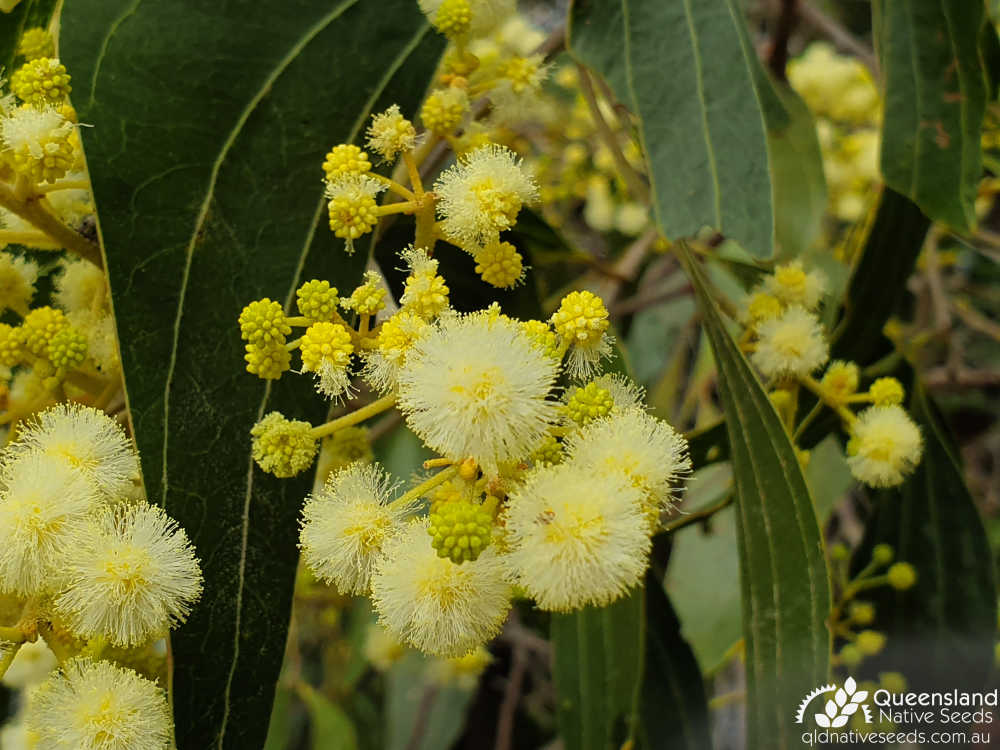Acacia flavescens | inflorescence | Queensland Native Seeds