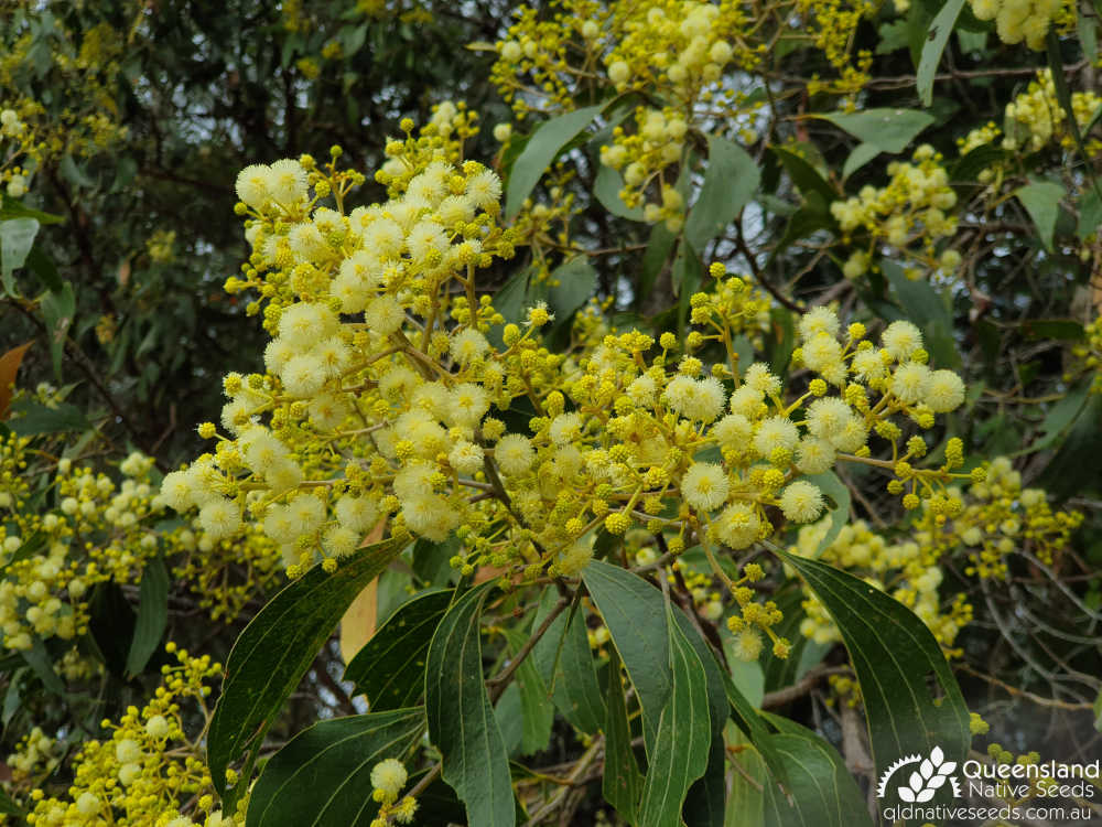 Acacia flavescens | phyllode, inflorescence | Queensland Native Seeds