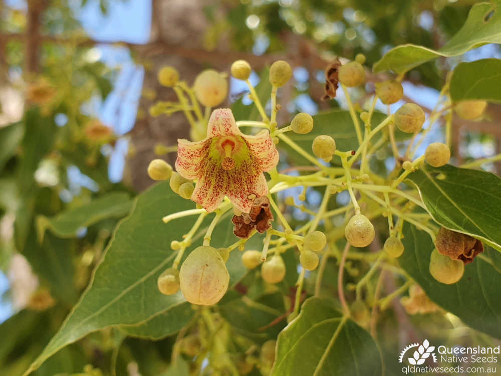 Brachychiton populneus | bud, inflorescence | Queensland Native Seeds