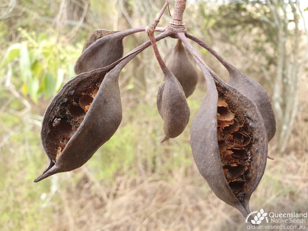 Brachychiton populneus | senescent fruit | Queensland Native Seeds