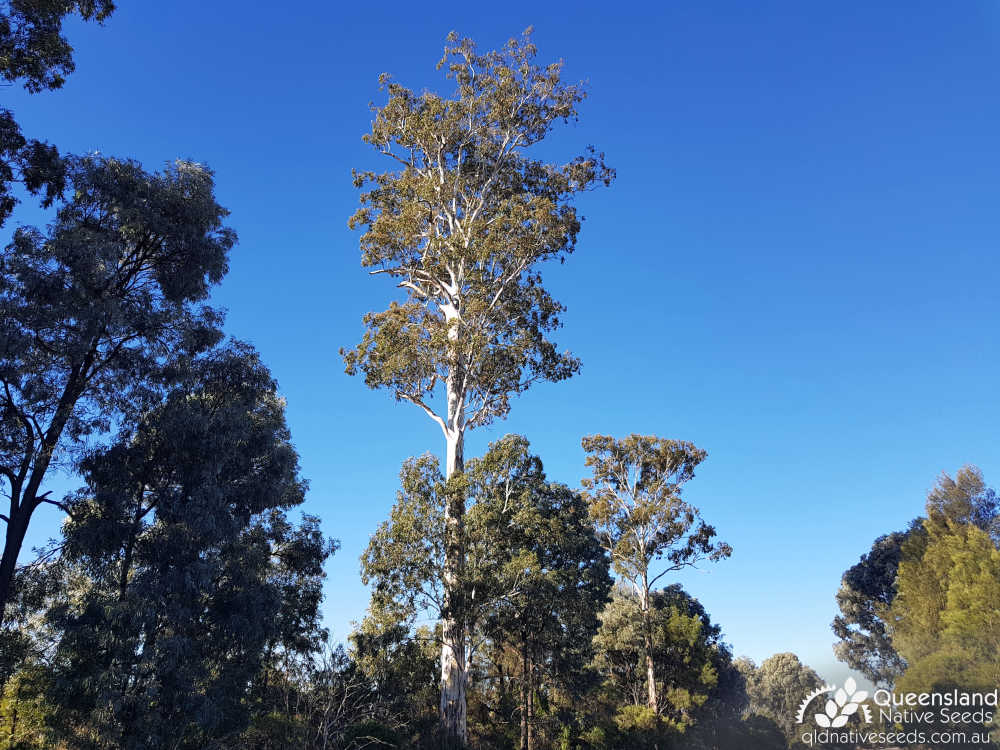 Eucalyptus argophloia | habit, habitat | Queensland Native Seeds