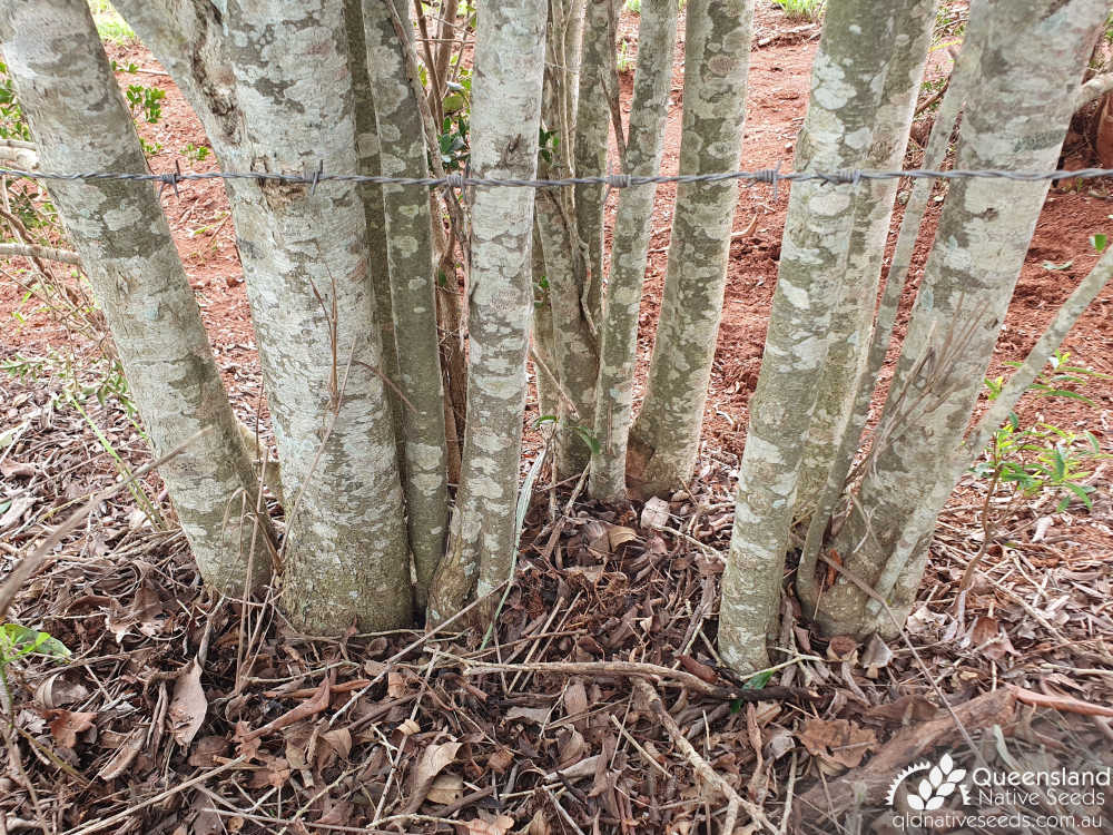 Denhamia parvifolia | base, trunk, bark | Queensland Native Seeds