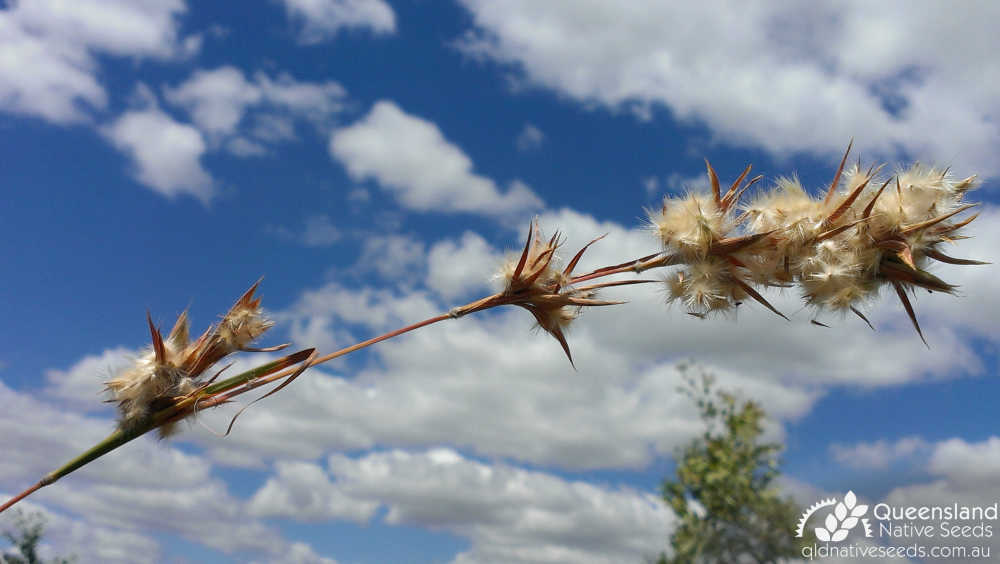 Cymbopogon bombycinus | inflorescence | Queensland Native Seeds