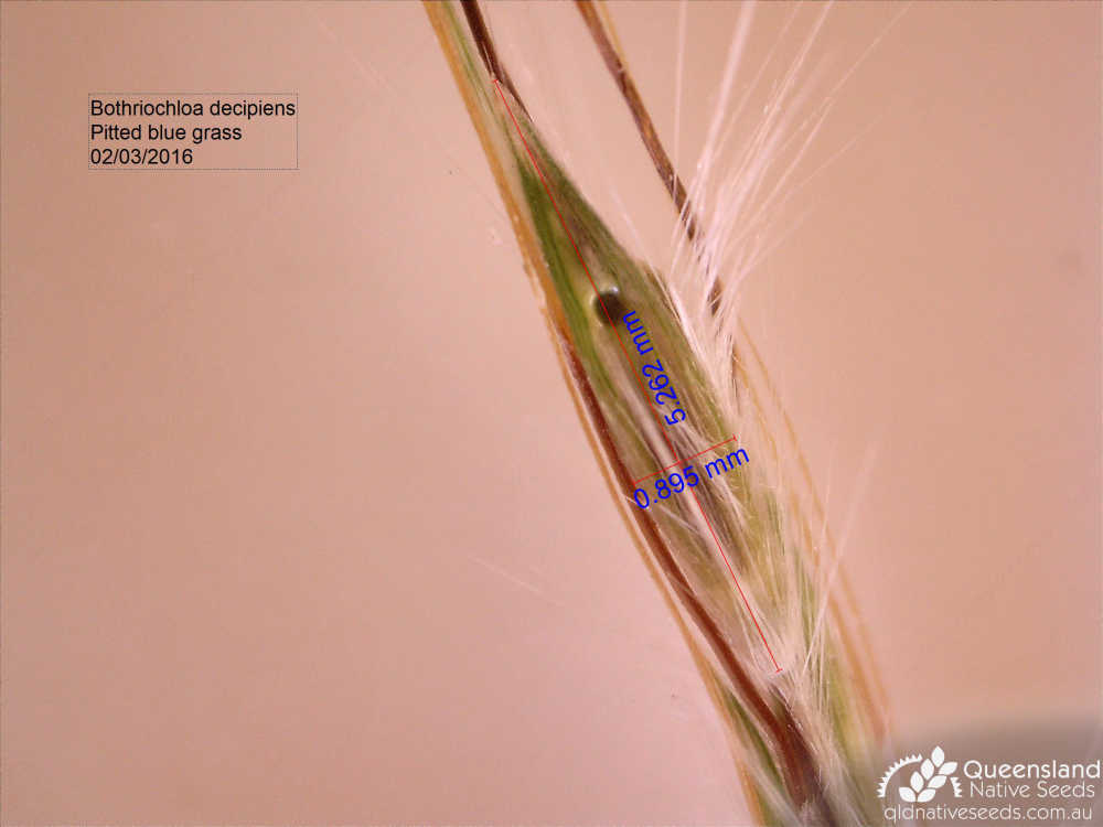 Bothriochloa decipiens var decipiens | spikelet | Queensland Native Seeds