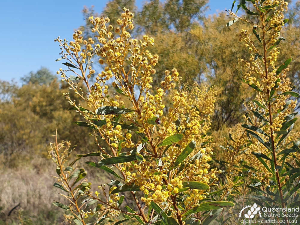 Acacia decora | inflorescence, phyllode | Queensland Native Seeds
