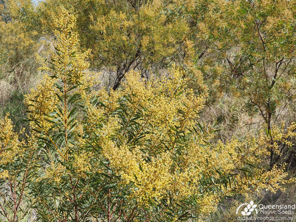 Acacia decora | inflorescence | Queensland Native Seeds