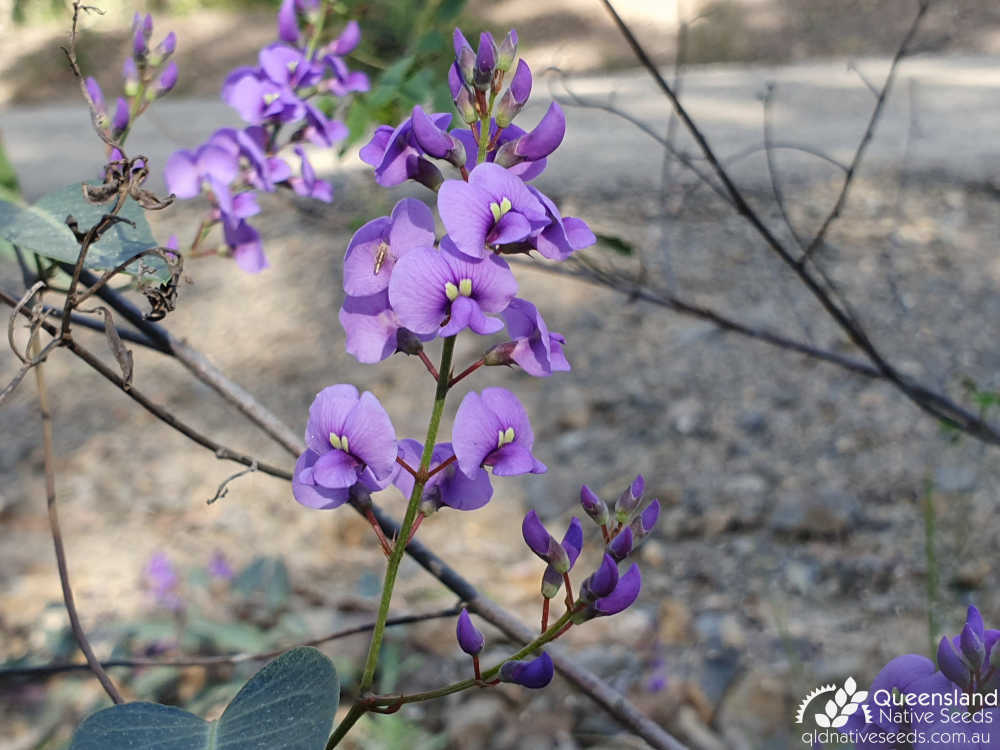 Hardenbergia violacea | inflorescence | Queensland Native Seeds