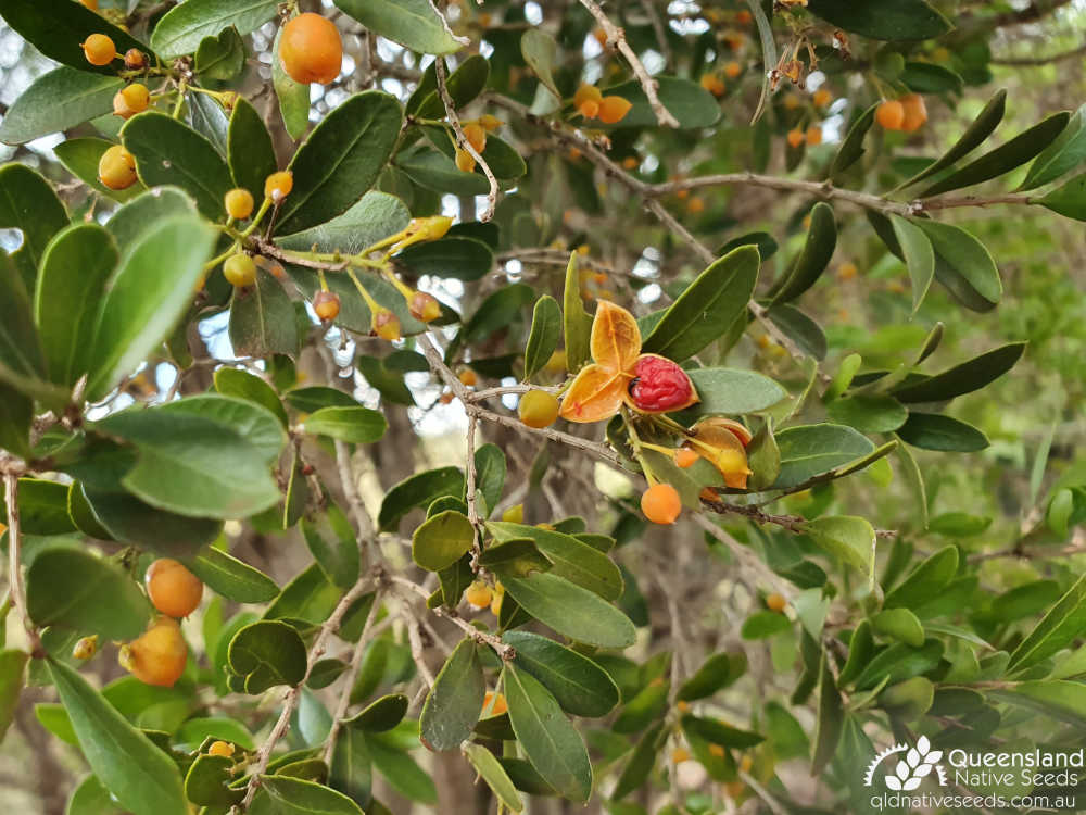 Denhamia parvifolia | leaves, fruit, seed | Queensland Native Seeds