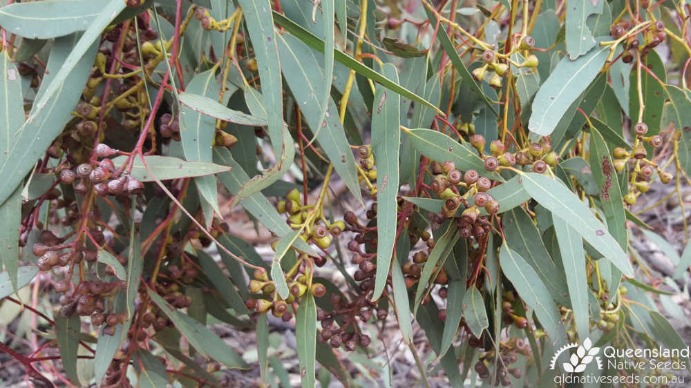 Eucalyptus fibrosa subsp. fibrosa | fruit | Queensland Native Seeds