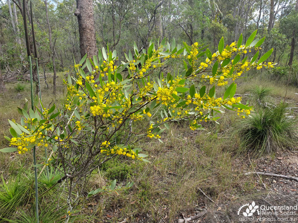 Acacia complanata | inflorescence, phyllodes, habit | Queensland Native Seeds