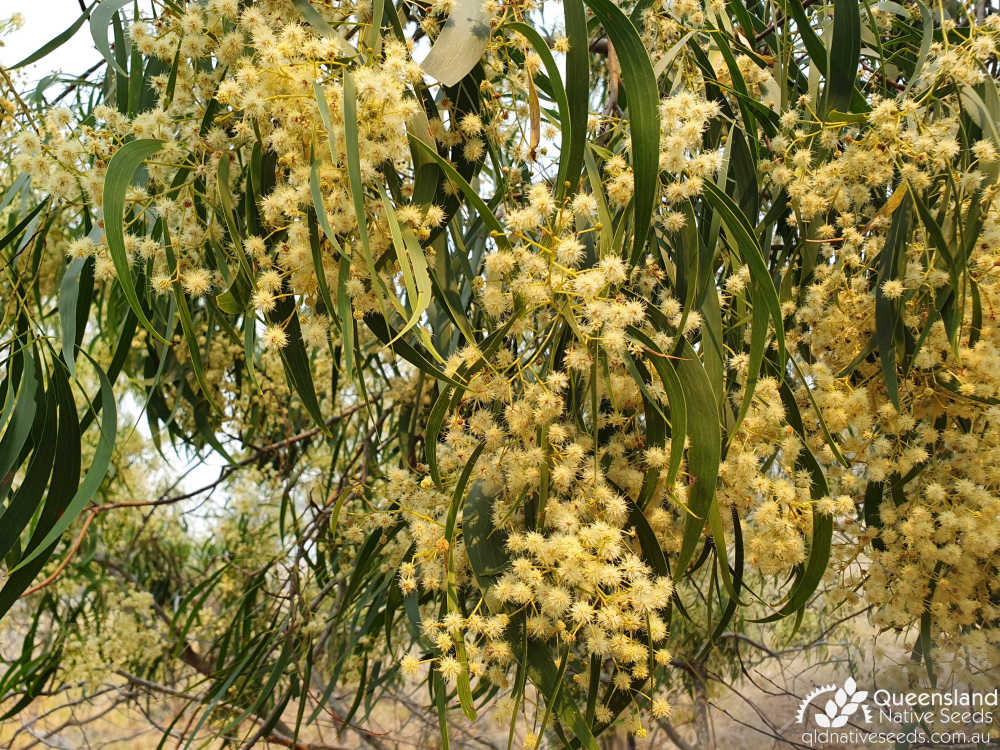 Acacia implexa  | inflorescence | Queensland Native Seeds