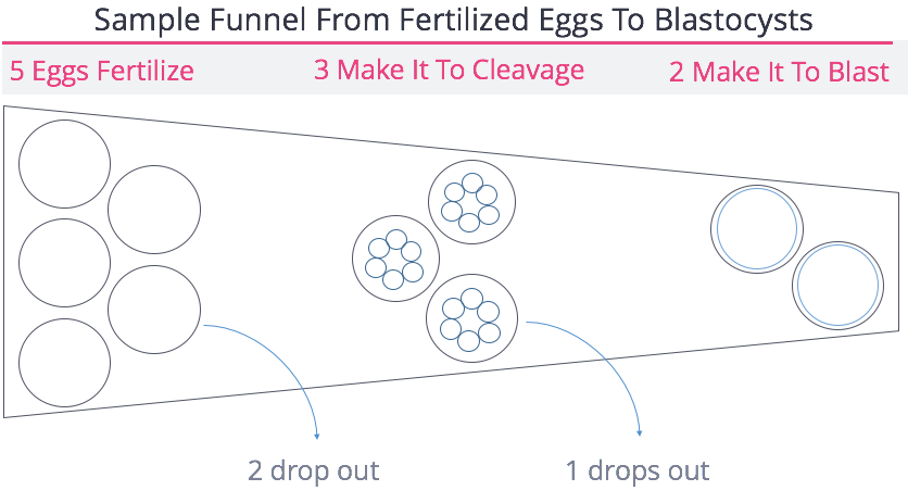 Embryo Attrition