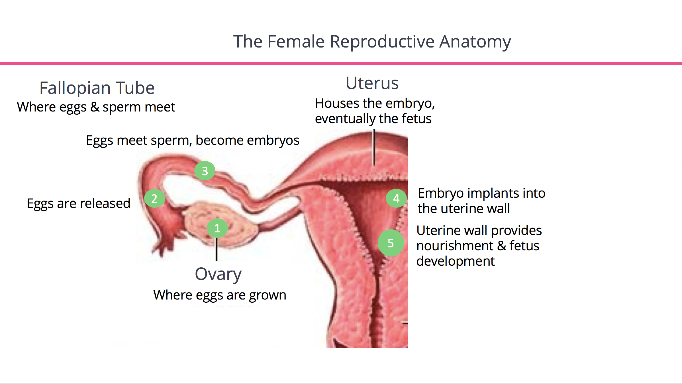 The Female Reproductive Anatomy
