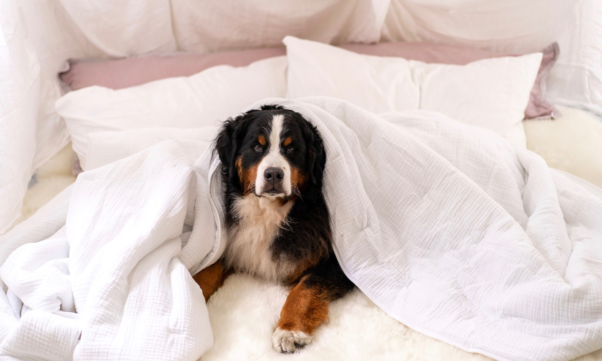 Bernese Mountain Dog in sheets.