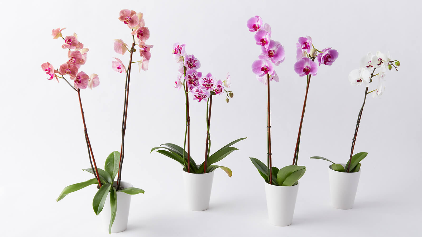 6 Inch Orchids