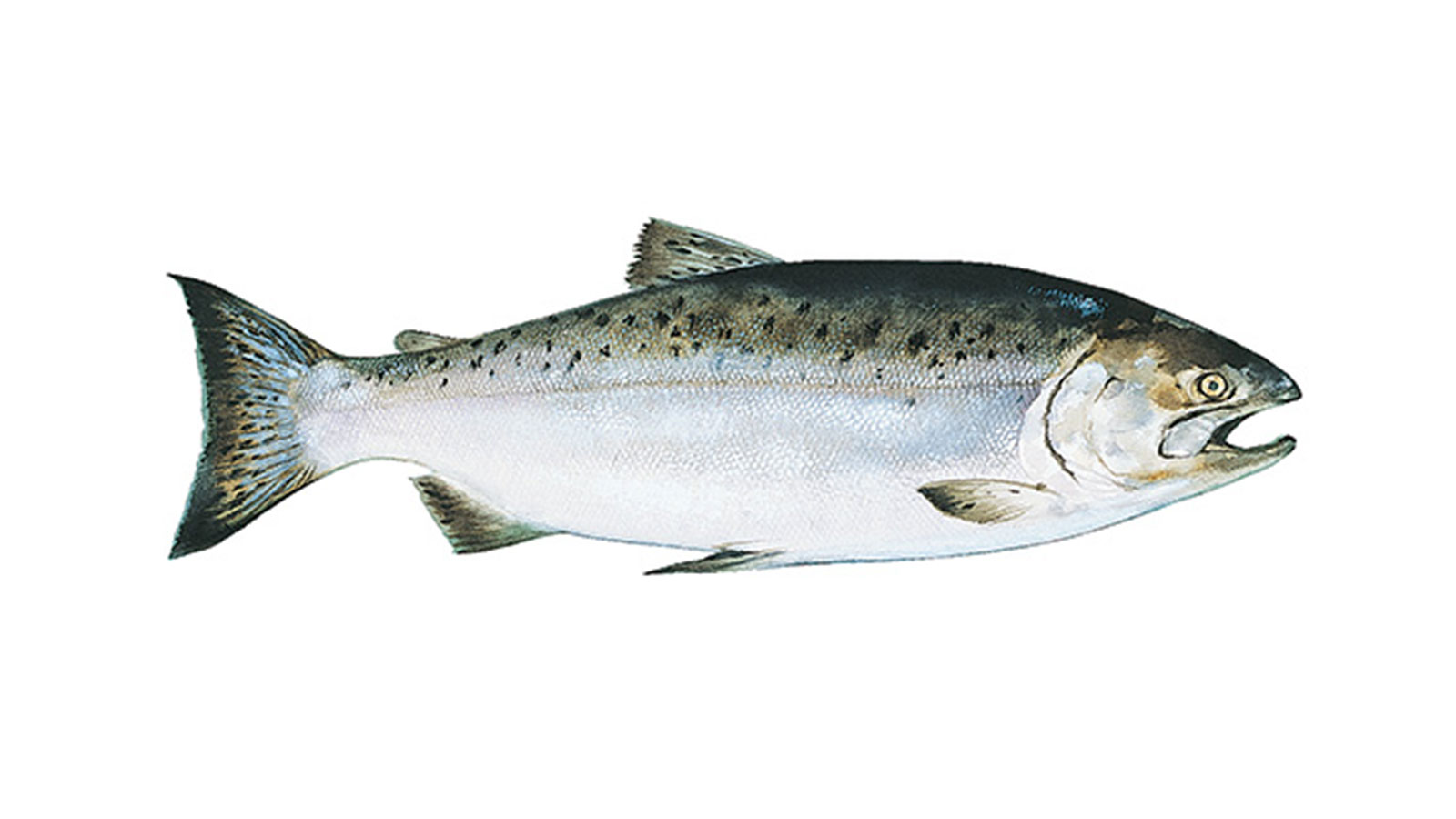 how to tell if wild salmon is cooked