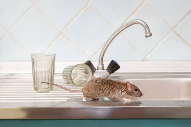 Dératisation Rats & Souris