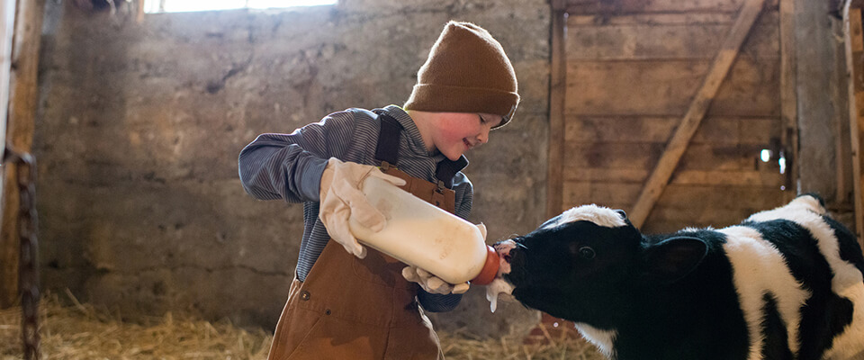 Young boy bottle feeding calf
