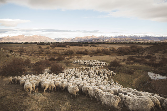 A drove of Merino sheep ambling across New Zealand