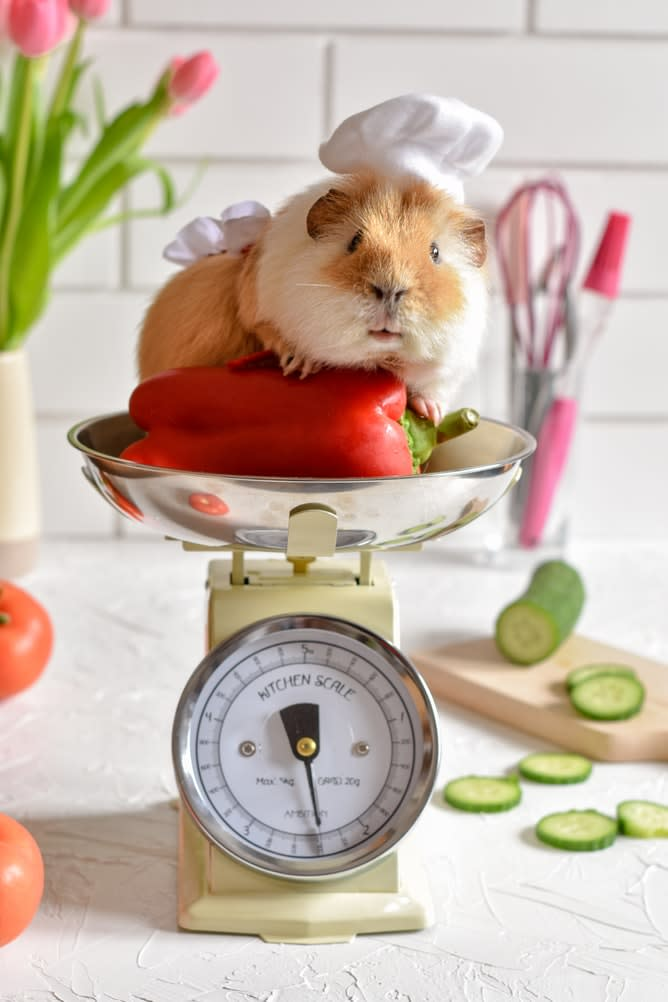 A hamster on a scale