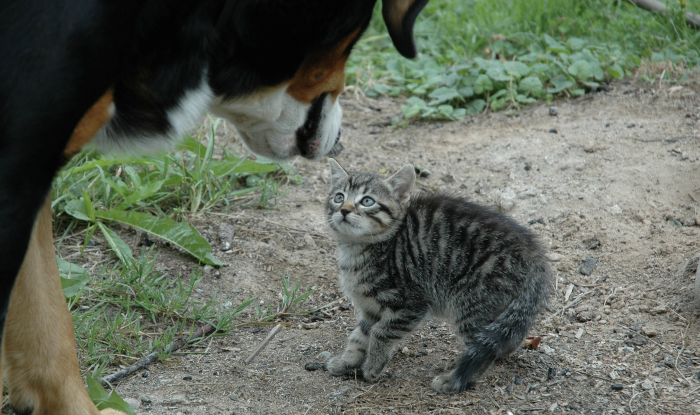 Cat being scared of a dog