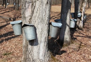 Sap-Buckets-copy-800x548-300x205