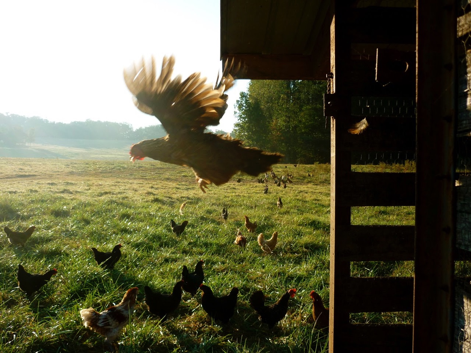 why-raise-backyard-chickens-web-2