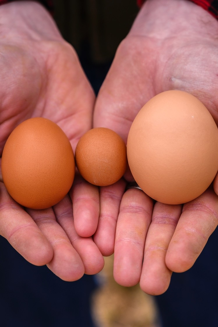 Man's hands holding three chicken eggs of varying sizes