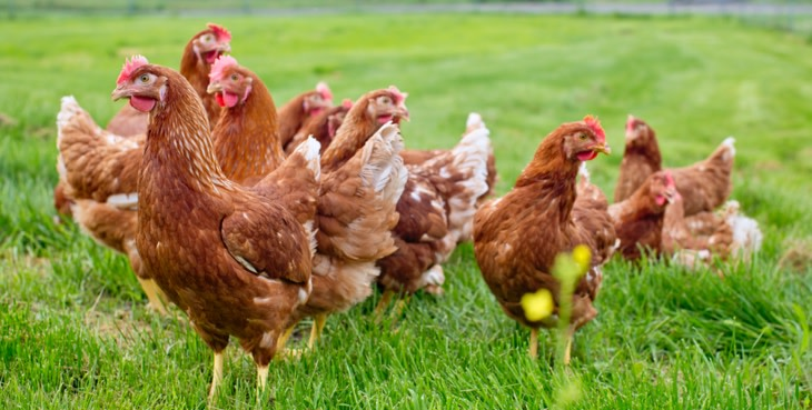 Why Free Range and Not Pasture Raised   Pete and Gerry's