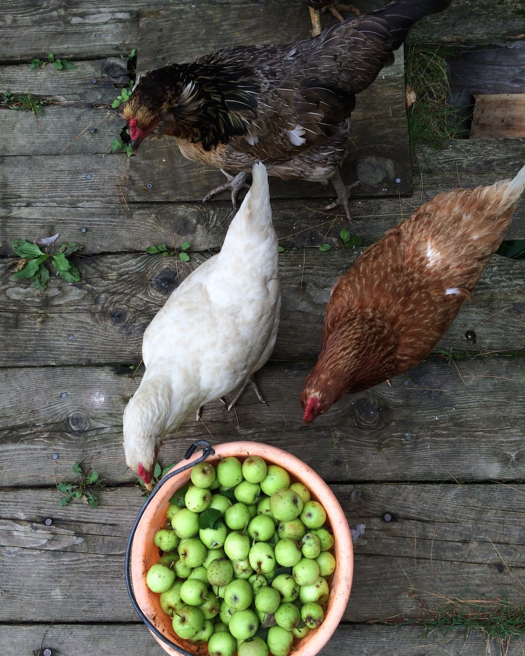 why-raise-backyard-chickens-ig-2