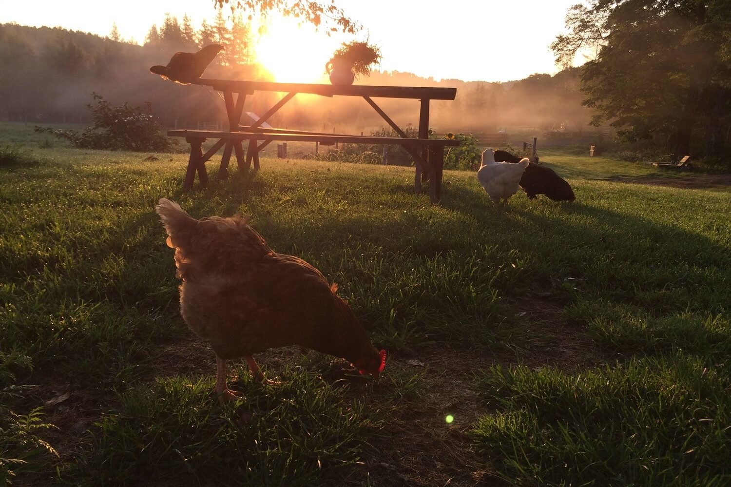 Understanding Local Laws For Raising Backyard Chickens ...