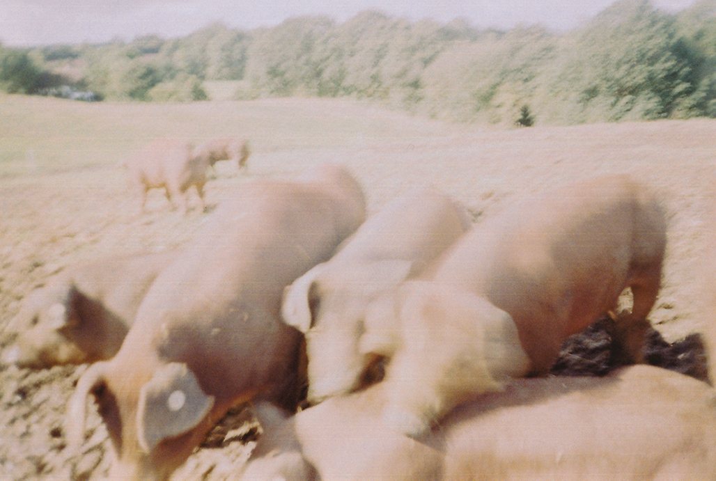 "55°21'39.9""N 10°04'10.9""E: Foraging pigs in fields near Lyst."