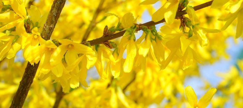 Kwiaty forsycji mają liczne zalety