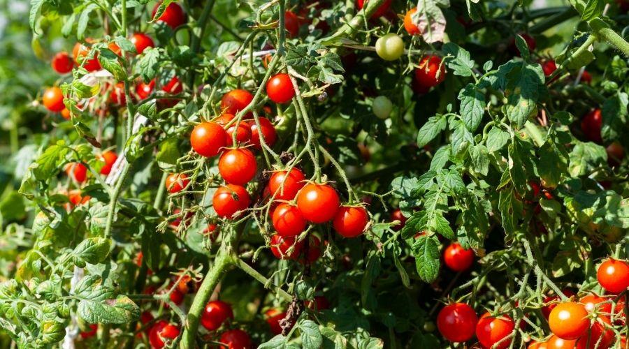 Pomidory wyrosną znacznie lepiej