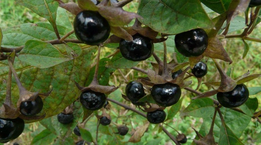 Wilcza jagoda