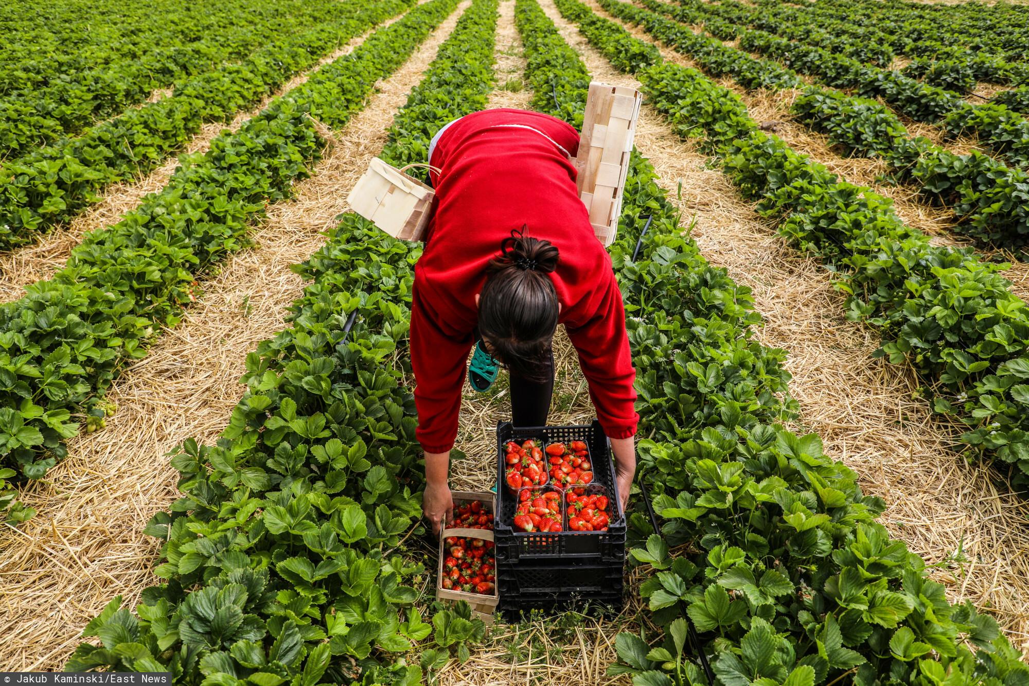 Kobieta pracująca na zbiorze truskawek