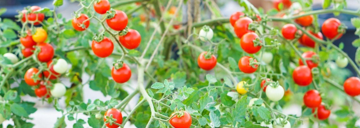 Pomidory porzeczkowe