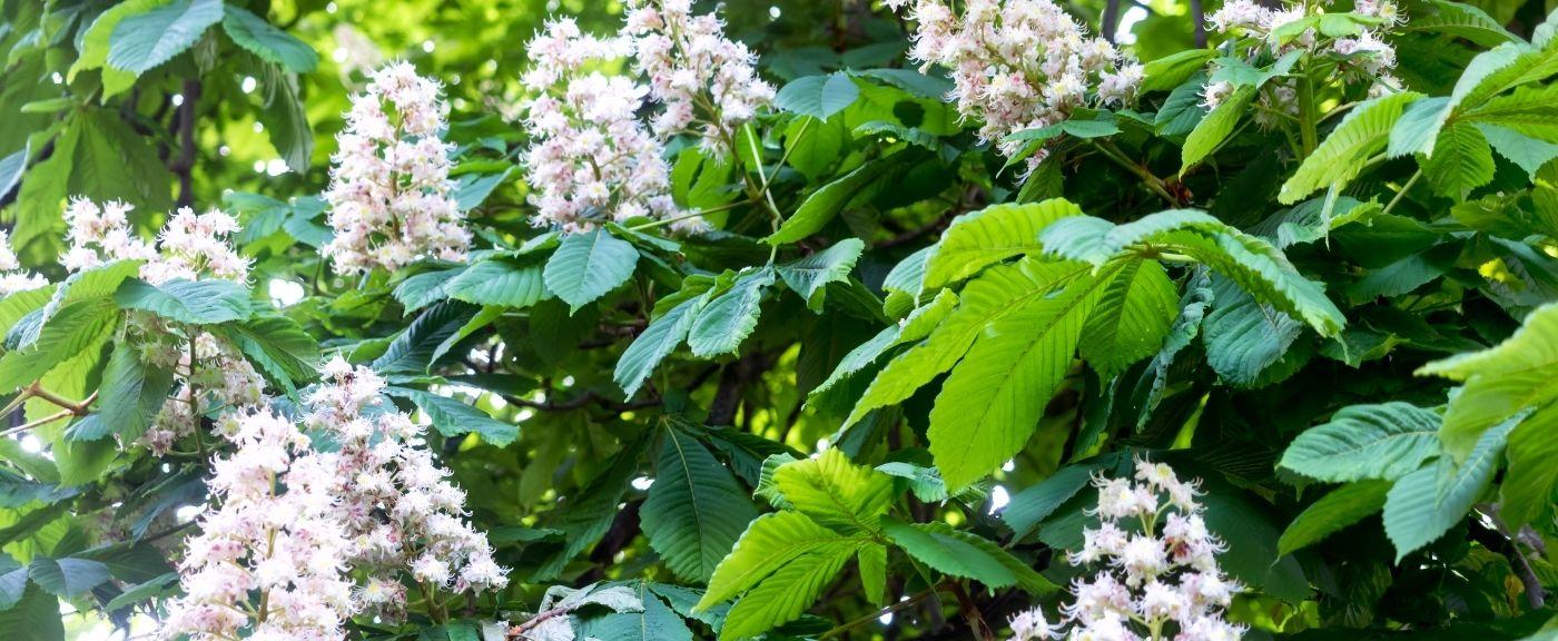 Kwiaty kasztanowca mają wiele zalet
