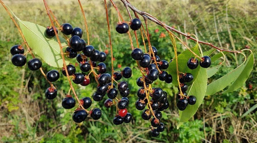 Owoce czeremchy i ich sekrety