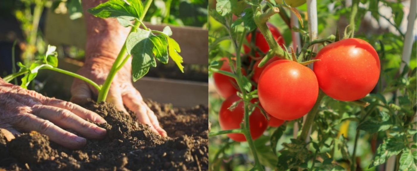 Pomidory wyrosną jeszcze większe