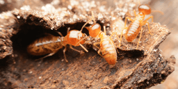 How to Get Rid of Termites | Best Home Remedies