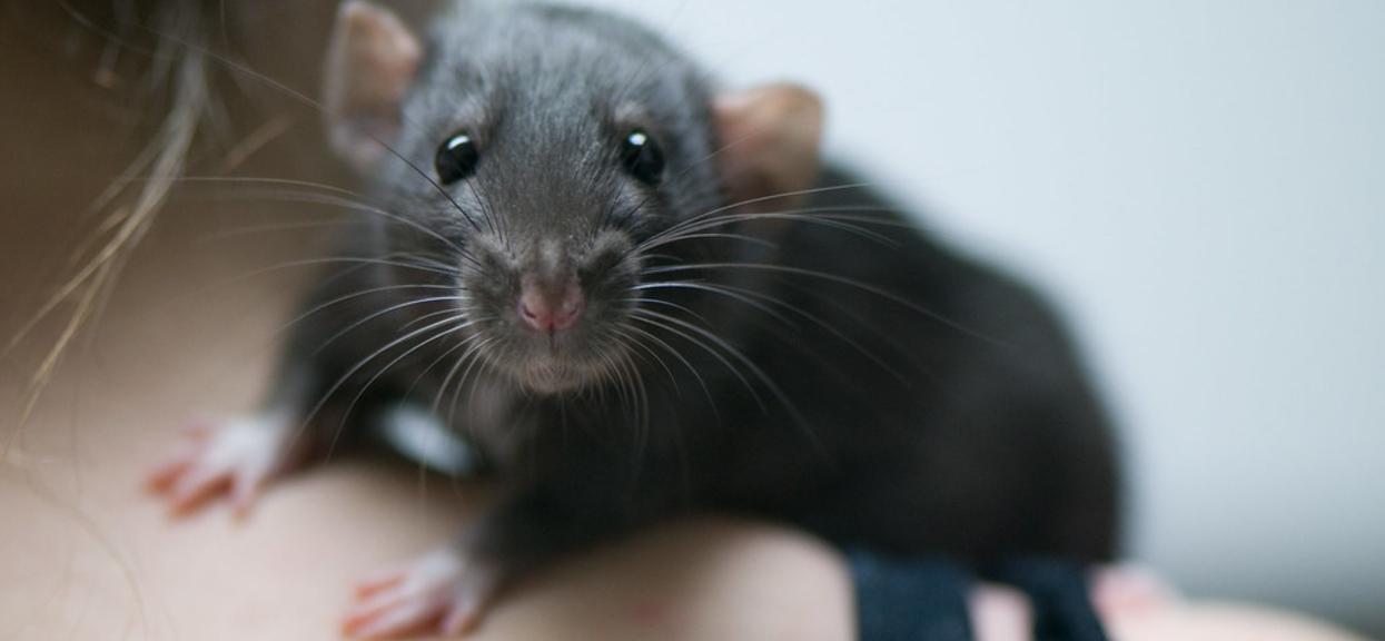 Zwierzęta szczury