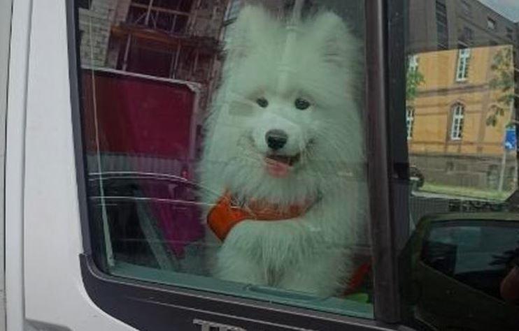 Pies pozostawiony w nagrzanym od upału pojeździe.