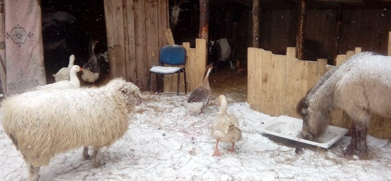 Trwa zbiórka pieniędzy na budowę stodoły na paszę dla zwierząt uratowanych od rzeźni.