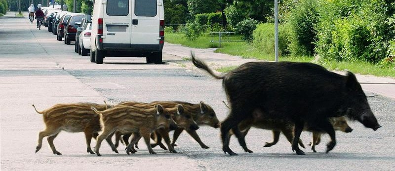 Was tun, wenn man einem Wildschwein begegnet?