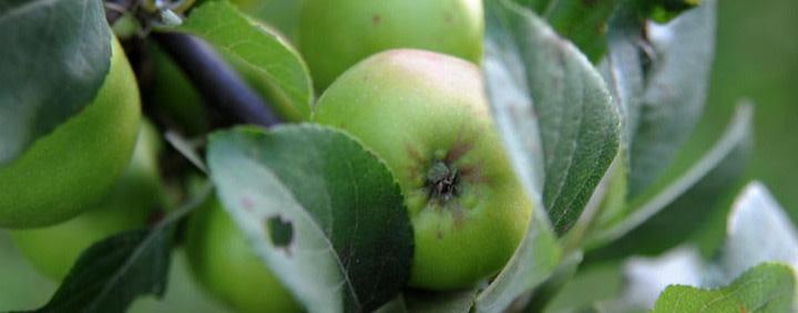 Streit um zu große Früchte – Lichtenberg will 15 Apfelbäume fällen